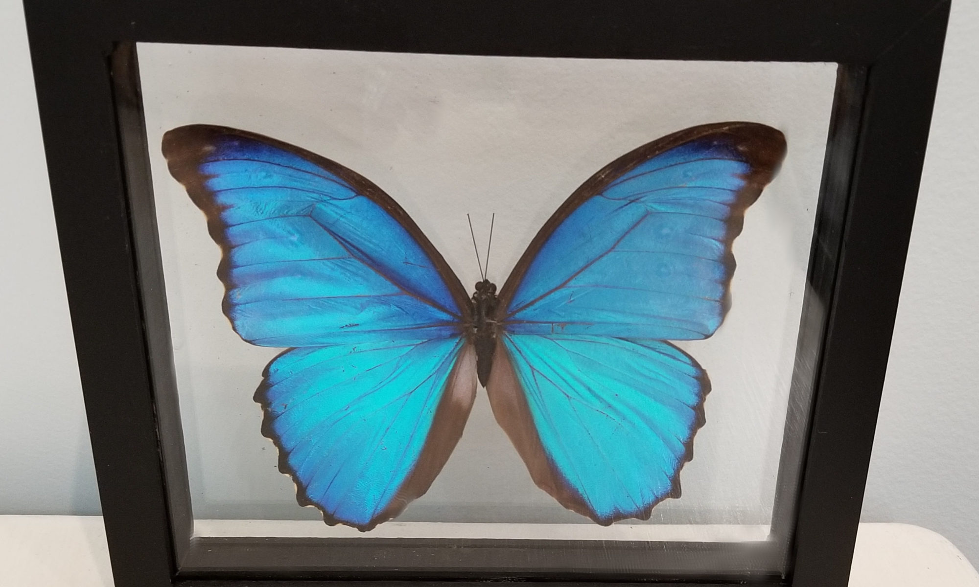 preserved blue morpho butterfly in shadowbox