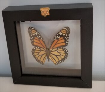 monarch shadowbox back