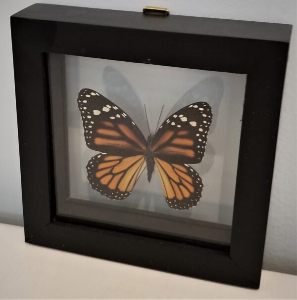 monarch shadowbox