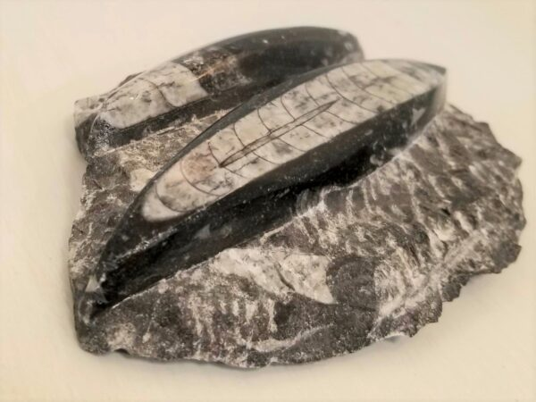 orthoceras fossil rock decor piece
